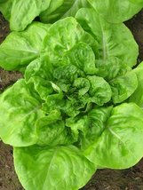 2000 Seeds of White Boston Lettuce / Lactuca sativa - $13.85
