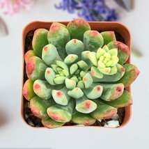"Live Plant Echeveria cv. Blue Apple Succulent Rooted in 2"" Planter Home Garden image 3"