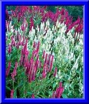 Candlestick Celosia (Mixed Colors) 30 Seeds - Comb S/H See our store! - $15.48