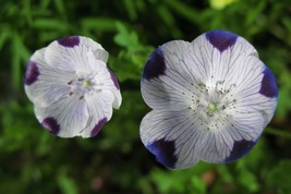 SHIP From US, 60 Seeds Five Spot Nemophila, DIY Decorative Plant ZJ - $17.99