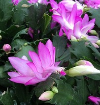 "Pink Christmas Cactus Plant Live Indoor House Zygocactus 4""Pot Best GIft... - $13.85"