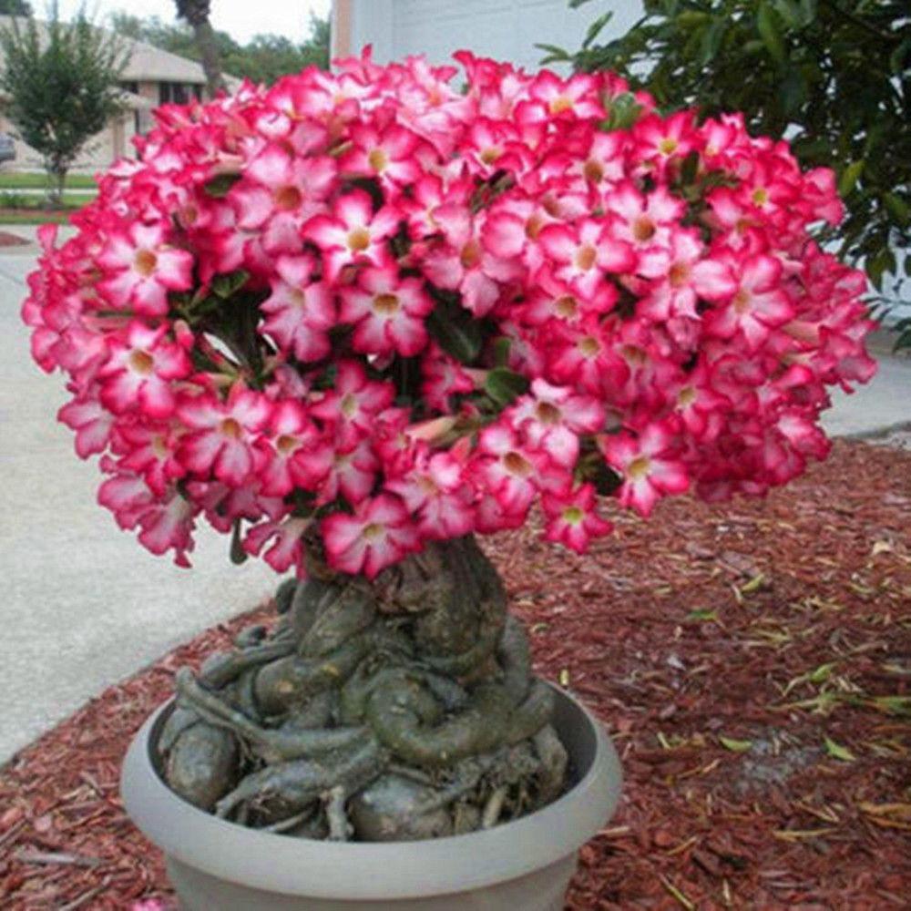 Super 1 Seed TRUE Adenium Obesum Desert Rose Bunga Kamboja Impala Lily