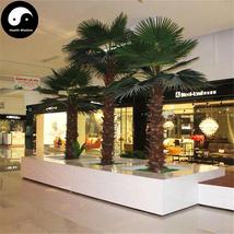 Buy Washingtonia Filifera Tree Seeds 60pcs Plant Chinese Lao Ren Kui - $9.99