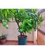 1pcs Mango Fruit Seeds Bonsai Dwarf Plants Exotic Rare Home Decor Garden... - $3.99