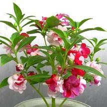 Bonsai Plants Pink Impatiens Flower Seeds Four Seasons Garden Flowering ... - $2.16