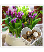 Calla Lily Bulbs, Not Seed, Beautiful Flower, Rare Purple Calla Flowers Bulbs - $9.99 - $29.99
