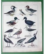 BIRDS Puffin Shoveler Plover Tringa Scoter Duck - SUPERB Color H/C Antiq... - $19.09