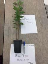 River Birch MULTI- stem tree (betulanigra) image 4