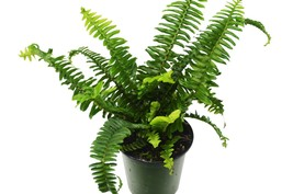 """Jester's Crown Fern - Live Plant - FREE Care Guide - 4"""" Pot - Low Light - $25.99"""
