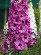 100 Pink Punch Delphinium Mix Seeds Perennial Garden Flower Bright Sun - TTS - $23.95