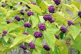 Starter Plant Callicarpa Americana Beautyberry - $29.77