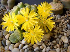 Rare Lithops Bromfieldii Insularis Living Stones Exotic Rock Plant Seed 15 Seeds - $7.99