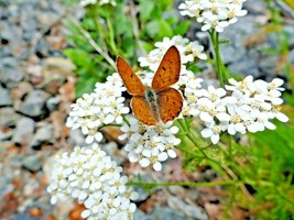 1000+WESTREN(White)YARROW Seeds Milfoil Wildflower Medicinal Butterflies... - $2.50