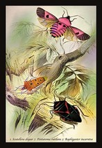 Insects: Pentatoma Rutilans and Raphigaster Incarntus by James Duncan - Art Prin - $19.99+
