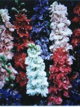LARKSPUR * GIANT IMPERIAL MIX * - $2.03
