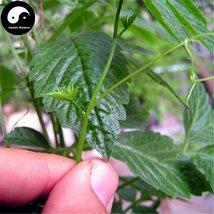 Buy Real Gynostemma Herb Seeds 200pcs Plant Herbal Gynostemma For Jiaogu... - $9.99