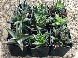 """Assorted Rooted Premium Aloe and Haworthia Succulents in 2"""" Planter Pots with"""
