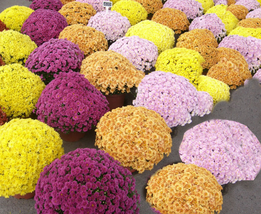 250 pcs Beautiful Dendranthema Grandiflorum Perennial Flower Seeds Mixed Color - $15.96