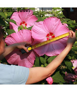 50 Particle/bag Giant Hibiscus Flower Seeds Hardy ,Mix Color,  Garden Po... - $4.99