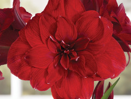 1 Bulb of Amaryllis DOUBLE DRAGON Dutch Hippeastrum, Size 36 - $19.95