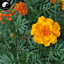 Buy Tagetes Patula Flower Seeds 240pcs Plant Garden Flower Tagetes Patula - $15.99