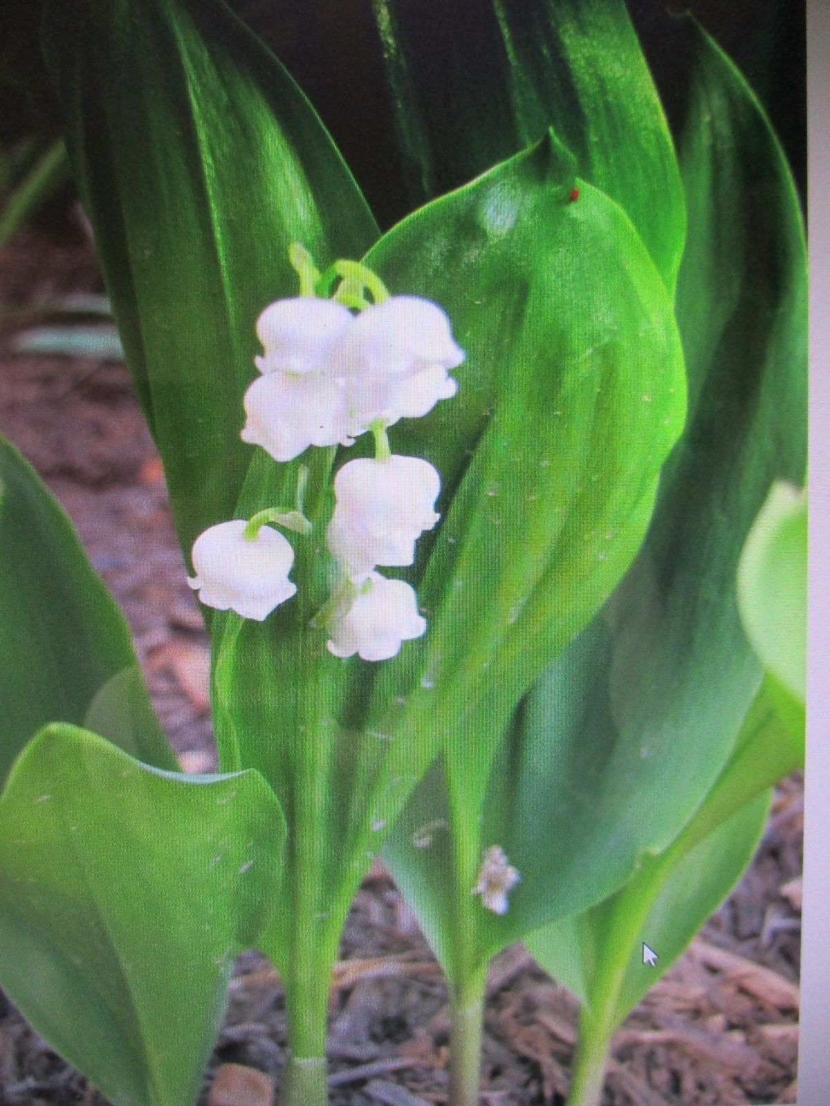 Lot 10 Home Grown Lily Of The Valley And 12 Similar Items