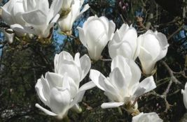 5 Yulan Magnolia, Magnolia denudata, Tree Seeds (Showy Fragrant Flowers) - $10.99