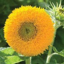 Teddy Bear Sunflower Seed, Sunflower Seeds - $21.00
