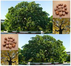(1) Shellbark Hickory / Kingnut - Carya laciniosa Tree Seed - Combined - $6.22