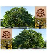 Shellbark hickory 01 thumbtall
