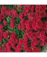 100 Sedum (Dragon's Blood) Seeds - $5.94