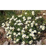 200 Creeping Daisy Seeds - $5.94