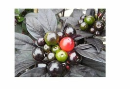 15 Seeds Black Pearl Heirloom Hot Pepper Ornamental & Edible Rare Black ... - $1.99