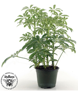 Dwarf Hawaiian Umbrella Bonsai Tree Plant - Banyan Forest Style - Scheff... - $15.00