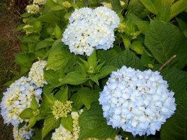 Nikko Blue Hydrangea image 3