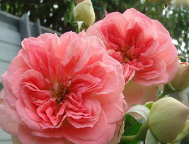 50pcs Very Admirable Double Pink Flower Seeds Light Fragrant Rose IMA1 - $15.05