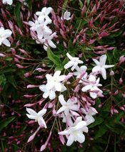 Star Jasmine Eight Cuttings To Start Plants *Fragrant Green Garden Beaut... - $32.37