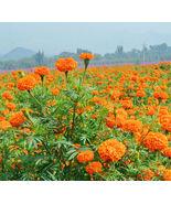 50 Orange Aztec Marigold Seeds Tagete Erecta Ornamental Garden Flowers - $5.09