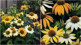 1 Starter Plant Echinacea 'Mellow Yellows' Coneflower - Beautiful Garden... - $31.99