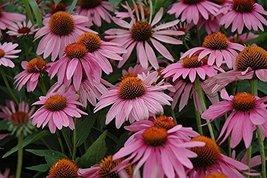 1 Healthy Starter Plant of Echinacea Magnus - $43.56