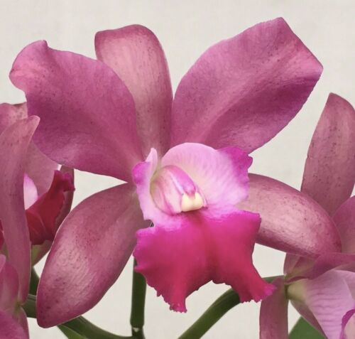 Rhyncattleanthe Phinyophan Boy CATTLEYA Orchid Plant Pot BLOOMING SIZE 0503 D