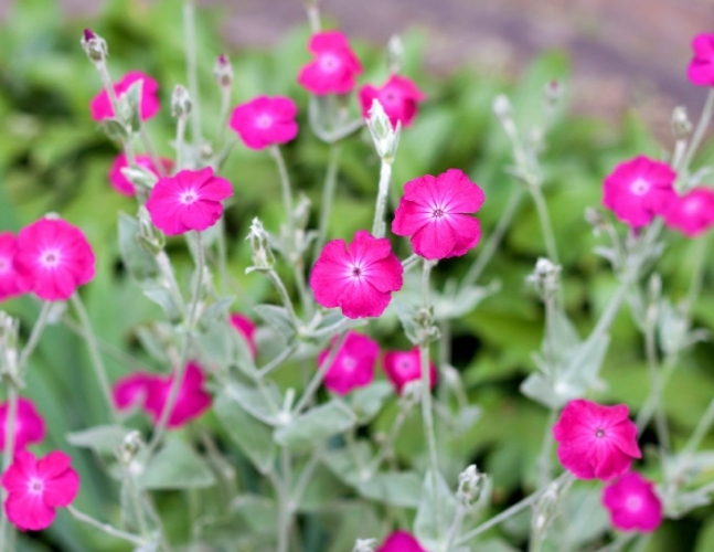 150pcs Pink Flower Seeds Rose Campion Sun Perennial Very Exotic #SMA1 - $13.99 - $14.99