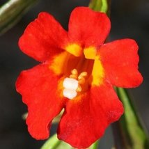 Mimulus Monkey flower Twinkle Red 100 Seeds - $4.94