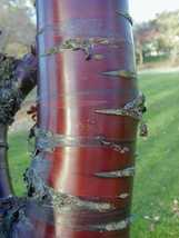 5 Shining Birch Bark Cherry, Prunus serrula Tree Seeds (Showy, Fast, Fall Color) - $11.99