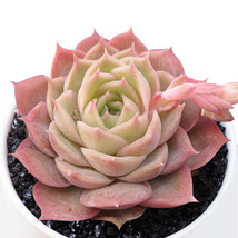 Plants Rare plants potted Home Garden Bonsai Echeveria Onslow Live Succu... - $19.99