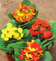 Calceolaria Seeds Purse Flower Seeds 30 seeds drought hardy exotic flower Garden - $5.99