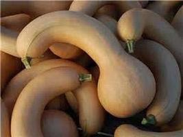 Crooked Neck Squash Seed, Non-GMO, 50 Seeds per Package - $4.49