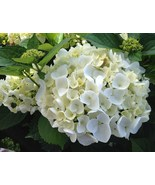30 White Hydrangea Seeds - $18.96
