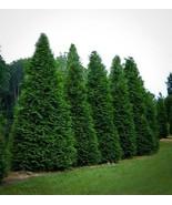 Live Plant (4) Green Giant Arborvitae Trees Quart Pot (Pack of 4) FREESH... - $90.00