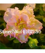 120 Seed exotic african violet plants Mixed colors Flower bonsai Saintpa... - $6.39